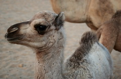 alpaca, animal, mammal, llama, fauna, vicuã±a, guanaco, close-up, camel,