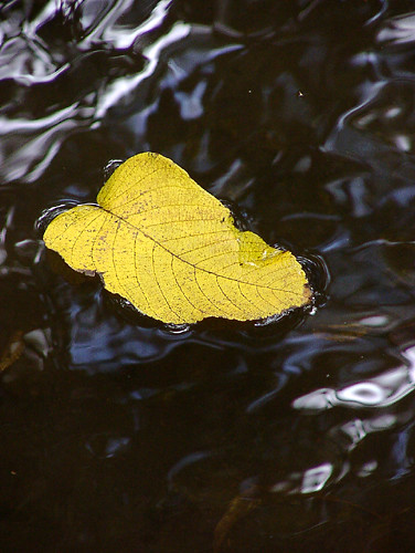 Yellow leaf 2002_03