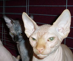 whiskers(0.0), ocicat(0.0), animal(1.0), sphynx(1.0), peterbald(1.0), small to medium-sized cats(1.0), pet(1.0), mammal(1.0), ukrainian levkoy(1.0), donskoy(1.0), cat(1.0), devon rex(1.0), hairless cat(1.0),