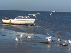 A conference of sea gulls