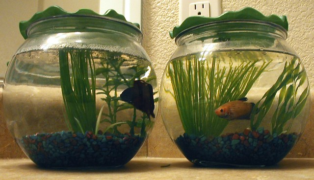 Betta fish don't cost much to purchase, assuming you go to a local fish store, Petsmart, Pet Supermarket, etc, versus an online store. One thing I've learned is that most smaller, lesser-known online stores will mark up for small, mostly un-noticable patterning, while pet stores don't care.