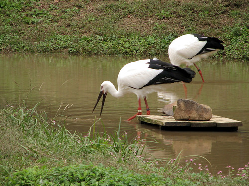 Hyogo prefectural homeland for the Oriental white stork, Japan