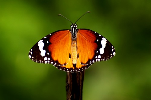 Wings ...