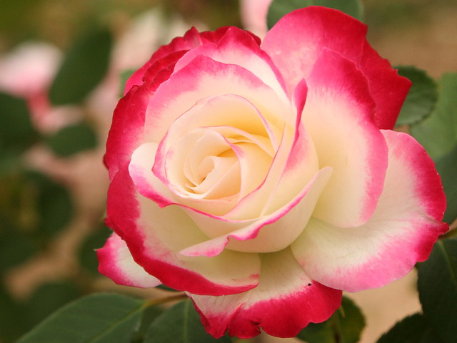Red, pink, white rose | Flickr - Photo Sharing!
