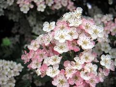 blossom, shrub, flower, plant, lilac, flora, cherry blossom, spring, pink, petal,