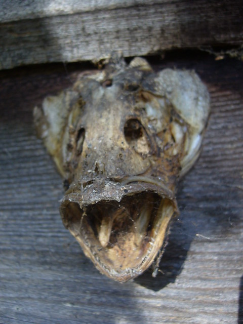 Dried fish head flickr photo sharing for Fish head app