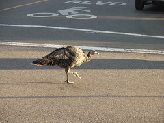 Turkey crossing road