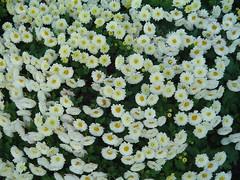 flower, yellow, tanacetum parthenium, wildflower, flora, chrysanths,