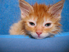 kitten ear mites