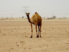 animal, prairie, sand, plain, mammal, aeolian landform, fauna, natural environment, desert, landscape, camel, arabian camel, savanna, wildlife,