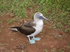 animal, fauna, booby, beak, bird, wildlife,