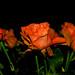 Orange Rose by stevenlaugle