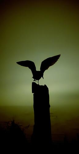 ocean light bird beach water silhouette sunrise dark de dawn flying wings juan seagull low flight olympicpeninsula sequim strait fuca portwilliams