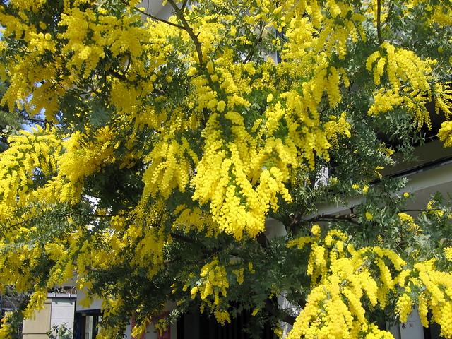 Flowers of Uji: Mimosa