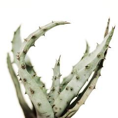 agave, plant, produce, plant stem,