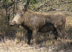 peccary(0.0), moose(0.0), wild boar(1.0), pig(1.0), fauna(1.0), pig-like mammal(1.0), warthog(1.0), wildlife(1.0),