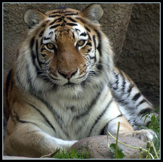 Female Siberian Tiger