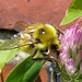 Yellow Bumble Bee - Bombus species by Cheryl Moorehead