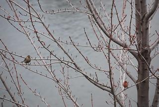 Flirting Finches