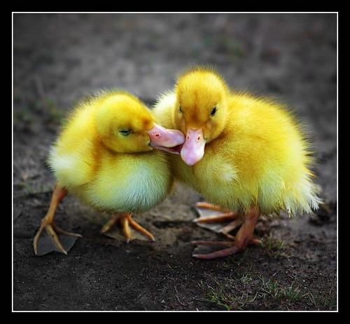Ducky Love  [104/365]