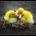 Ducky Love  [104/365] by Lab2112