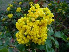 wildflower(0.0), produce(0.0), lantana camara(0.0), evergreen(1.0), shrub(1.0), flower(1.0), yellow(1.0), plant(1.0), subshrub(1.0), flora(1.0), oregon grape(1.0),