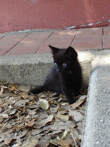 Black little cat