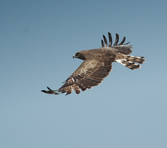 harrier, animal, hawk, bird of prey, falcon, eagle, wing, fauna, buzzard, accipitriformes, kite, bird, flight,