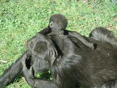Baby gorilla climbing his mother
