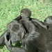 Baby gorilla climbing his mother
