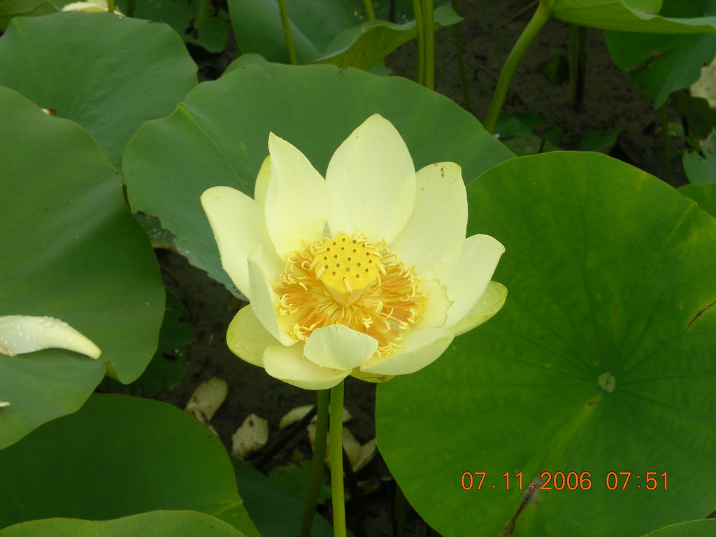 American Lotus Invasive And Early Detection Species Of White
