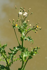 Groundsel by Barry Cornelius