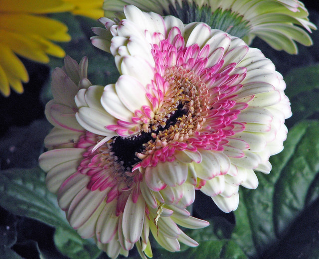An Unusual Gerbera