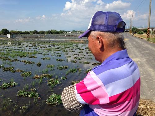 西庄里里長伯陳水榮說,其實農民看到鳥死也很不忍心,因此最好鼓勵農民盡量以插秧來保護鳥類。