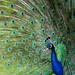 Peacock by hoobgoobliin