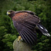 Storm the Harris Hawk_3903 by Chrissie pixs
