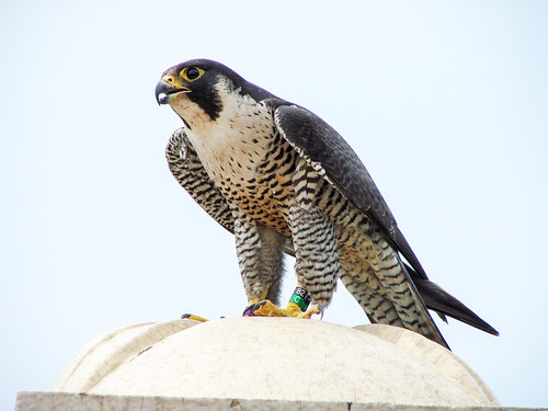 """Amy"" the Peregrine Falcon"