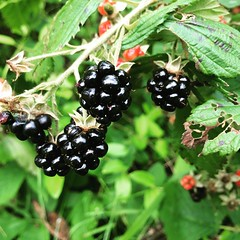 blackberry, berry, red mulberry, produce, fruit, food, boysenberry, dewberry,