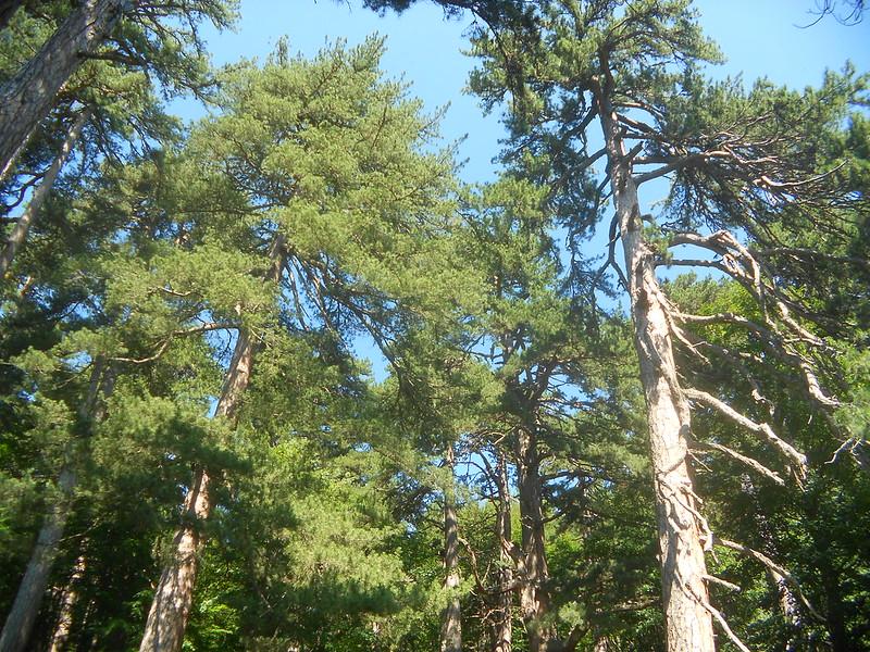 pini larici, i giganti della Sila, i giganti di Fallistro, parco nazionale della Sila, Spezzano della Sila