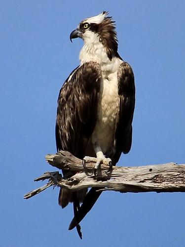 florida raptor osprey pandionhaliaetus accipitriformes pandionidae
