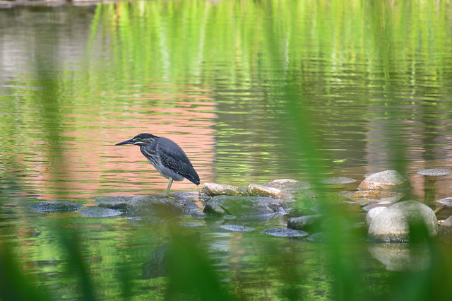 ササゴイ Striated heron