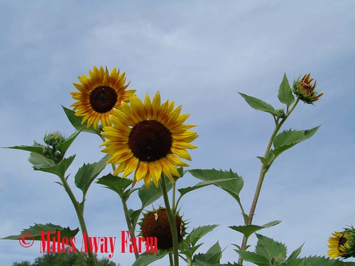 Sunflowers Sky