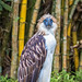 The eyes of the Philippine Eagle by julesnene