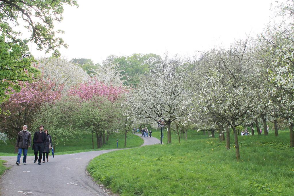 Blossoms in Petřínské sady