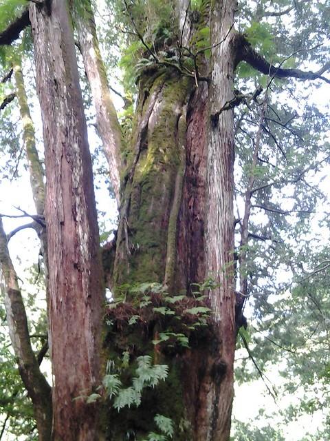 16057拉拉山巨木群