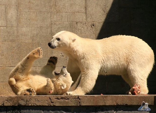 Eisbär Fiete im Zoo Rostock 0238