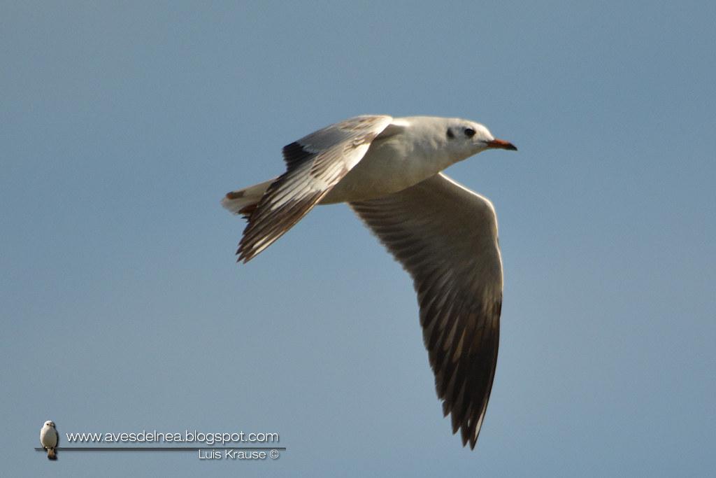 Gaviota capucho café (Brown-hooded gull) Larus maculipennis