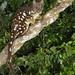 Dasyurus maculata maculata (Spotted-tailed Quoll)