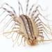 house centipede by brian.gratwicke