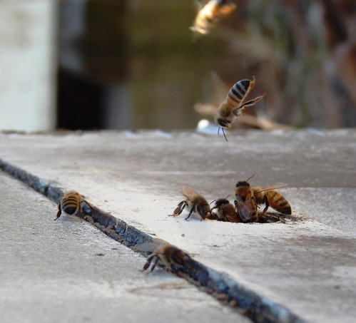 Honeybees leaving and returning to the hive after collecting pollen